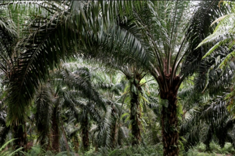 ICYMI: Malaysia Considering New Strategy To Counter 'No Palm Oil' Labels